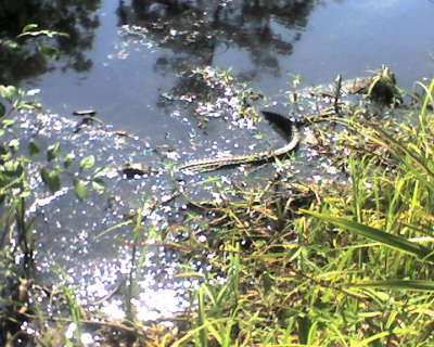 Alligator on the Kenta Canal Trail, Barataria Preserve, Jean Lafitte National Historical Park