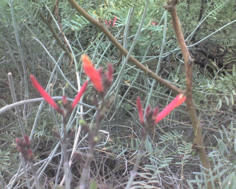 Tahquitz Canyon flower